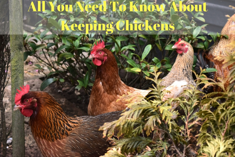 All you Need to Know About Keeping Backyard Chickens